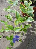 Vinca minor Aureovariegata 1L Pot